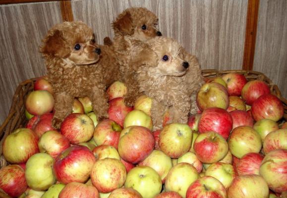 Игрушки в яблоках
