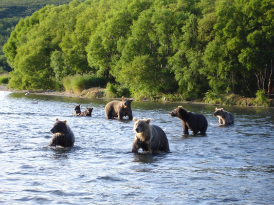 Массовый выход медведей (Байкал)