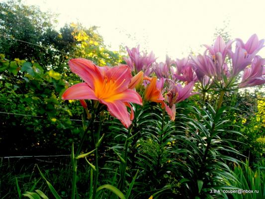 В моём саду-продолжение