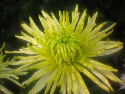 Хризантема из Ботанического сада г.Ялты