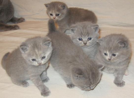 котята Серый Призрак 3 недели