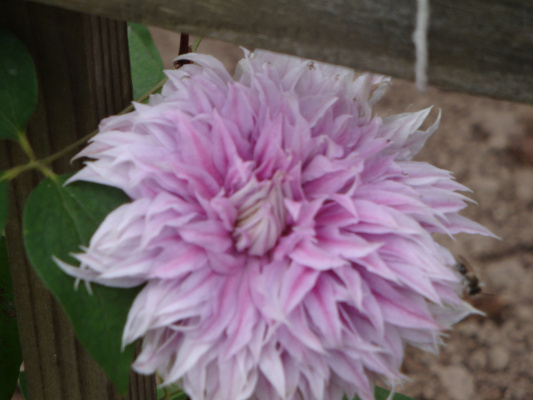Цветок клематиса Жозефина