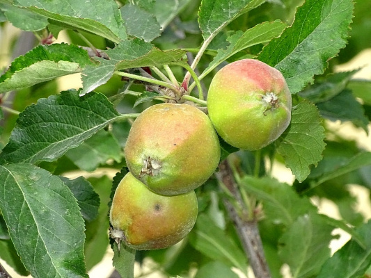 Яблочки спеют