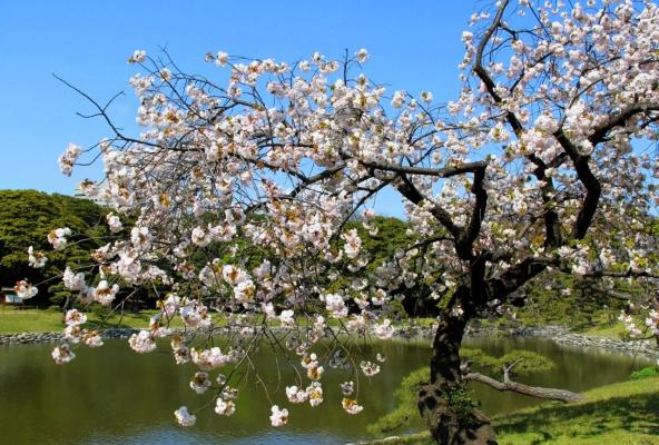 Цветущие деревья Японии (Серия)