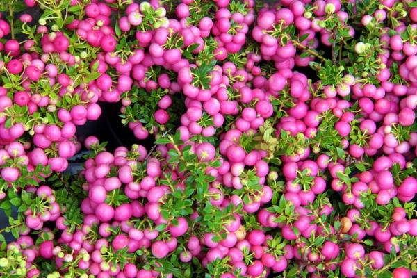 Что это за ягодки? Я ответа не знаю)))))