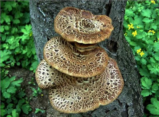 """Это гриб под названием """"чага"""""""