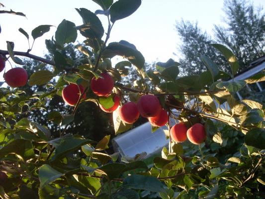 Райские плоды  :-)