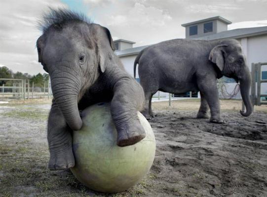 Что за  шарик  у слонёнка?