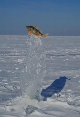 Золотая рыбка (окунь)