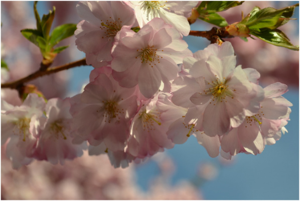 Под небом сакура, далекой стороны, цветет рассветы первые встречая.