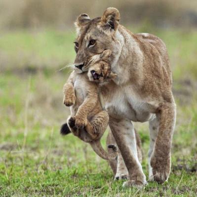 """Для чего многие животные переносят своих детей, как говорится, за """"шкирку""""?"""