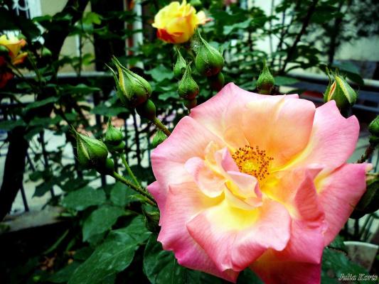 Июньские розы из Грузии