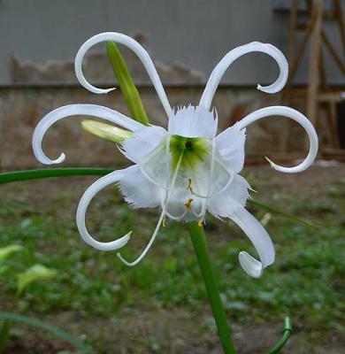 Исмена - невестин цветок.