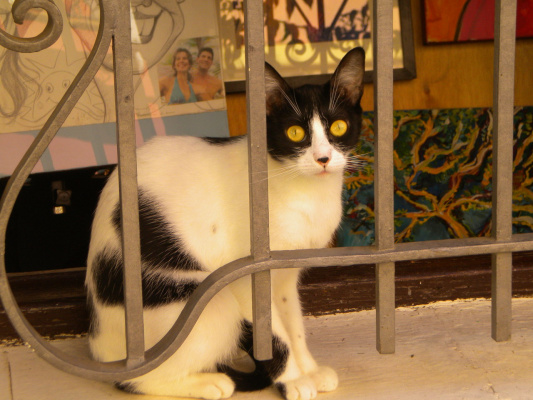 Испанскя кошка