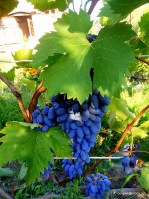 Виноградный урожай.