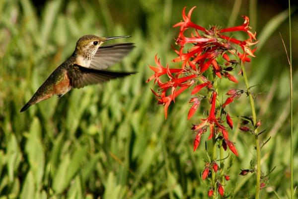 Почему у колибри великолепный аппетит?