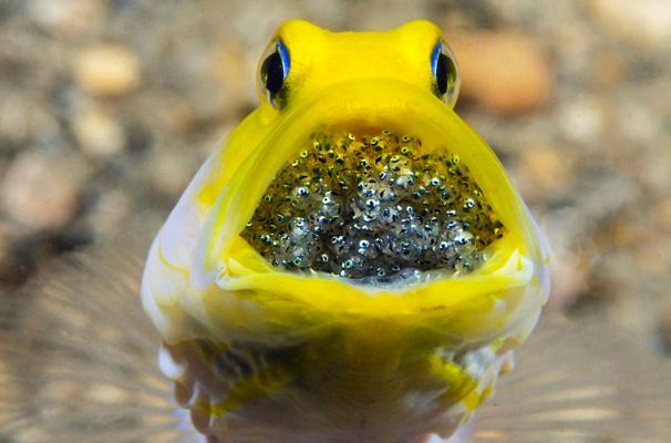 Желтоголовый большерот высиживает и охраняет яйца во рту