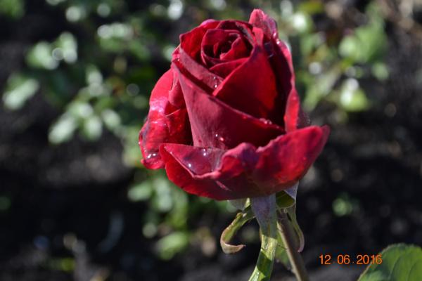 Роза после дождья.