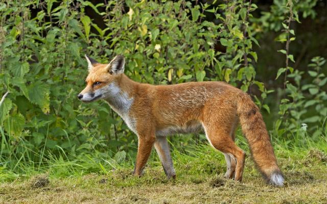 Почему у рыжей лисы кончик хвоста белый?