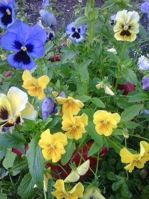 разноцветье анютиных глазок