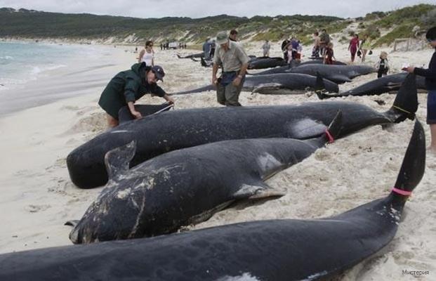 Сотни китов выбросились на берег в Чили