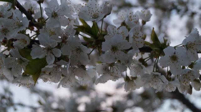 Черешня цветет.