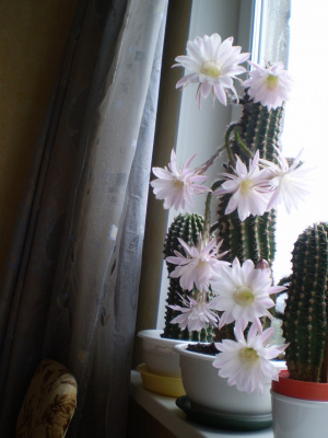 Цветет кактус.