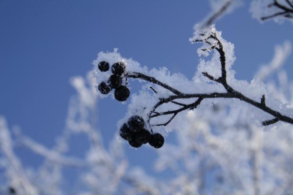 Зимняя ягодка