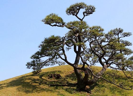 Деревья Японии (Серия)