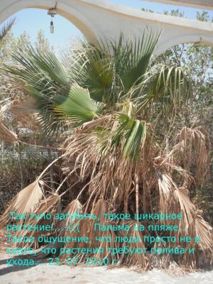 """Пальма на пляже отеля """"Хор-Палас"""" г. Хургада. Египет"""