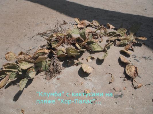 """Клумба с кактусами  отеля """"Хор-Палас"""" г. Хургада. Египет"""