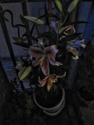 Ночью меня разбудил аромат распускающейся лилии.