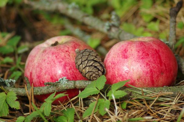 pine & appls