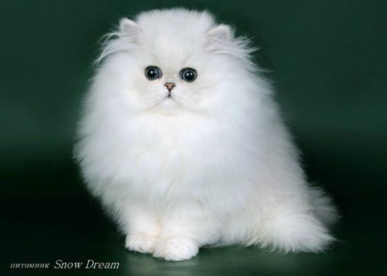 Котёнок. Серебристая шиншила.