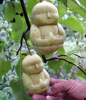 Китайский фермер вырастил 10 000 груш в форме маленького Будды и теперь их продает. Несмотря на их высокую стоимость (260 рублей в переводе на наши деньги), груши разбирают очень бодро. Китайцы считают, что они приносят удачу.