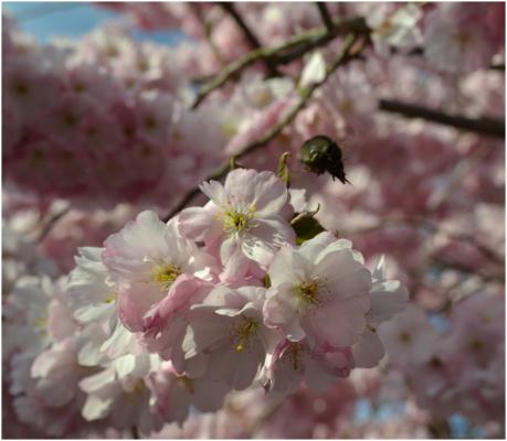Вишни в весеннем расцвете.