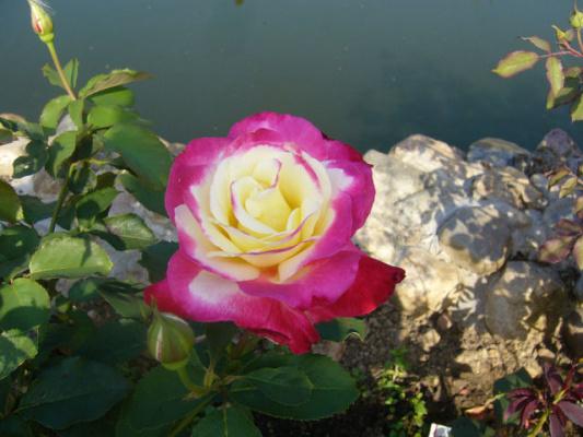 Розы Подмосковья