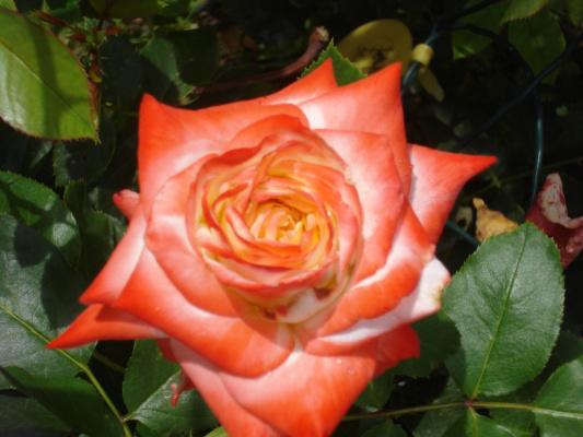 Роза Императрийца Фарах