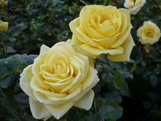 Желтая розочка