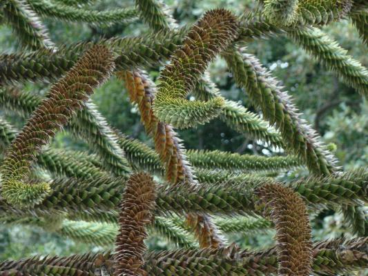 Обезьянье дерево