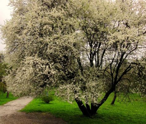 Алыча цветет