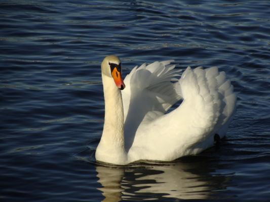 Лебедь  на Озеро Кимзее