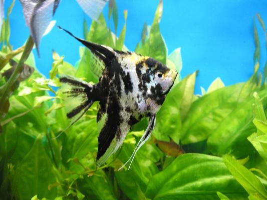Гордость аквариума
