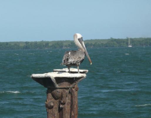 Пеликан - друг человека