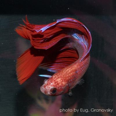 Петушок, или бойцовая рыбка (лат. Betta splendens)