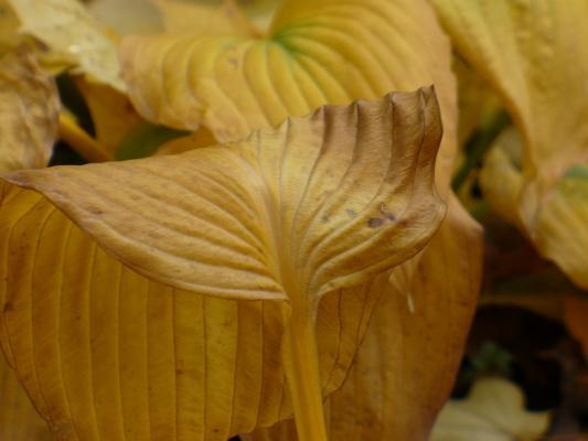 Пожухшие листья