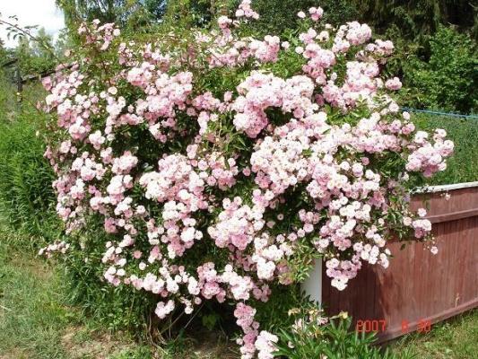 розы в буйном цветении