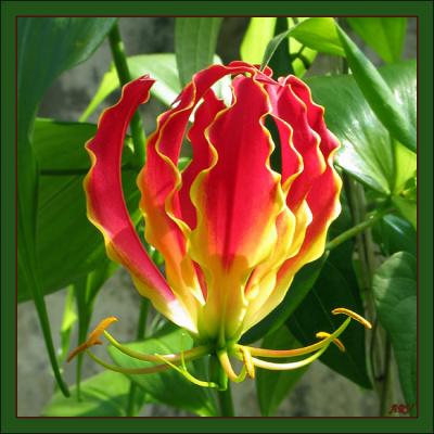 Пламя... (Глориоза Ротшильда Gloriosa rothschildiana).