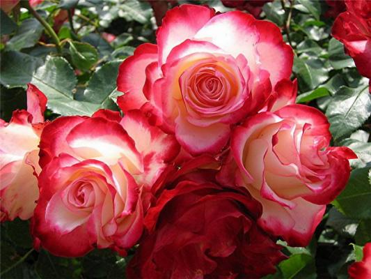 Роза- королева цветов!