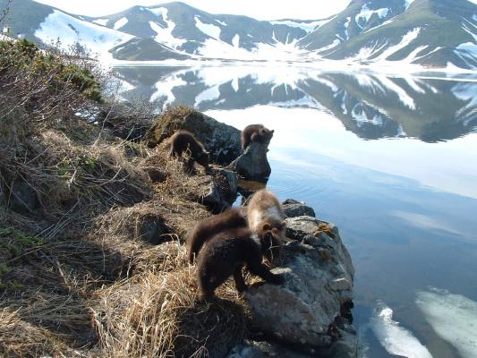 медведи на Камчатке